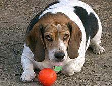 Beagle sofrendo de obesidade