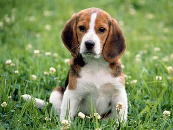 Cachorro da raça Beagle