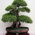 Como cuidar de bonsai em casa