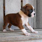 Cachorros Boxer: informações sobre a raça e fotos dos cães