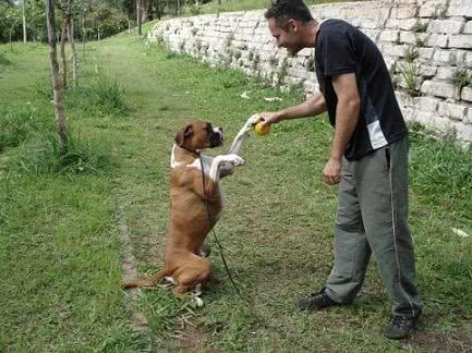 Adestramento Boxer