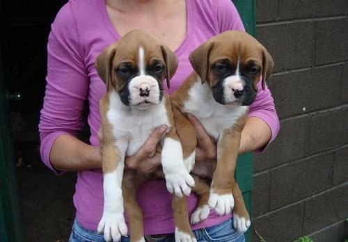 Dois filhotes de boxer