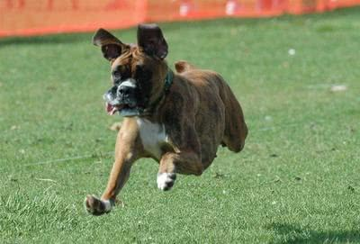 Cachorro da raça Boxer correndo