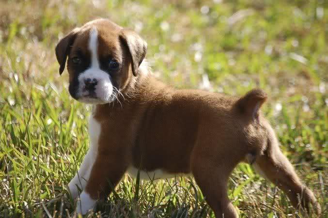 Filhotinho de Boxer