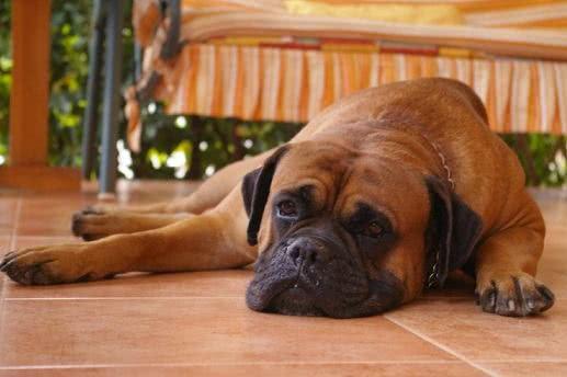 Boxer descansando