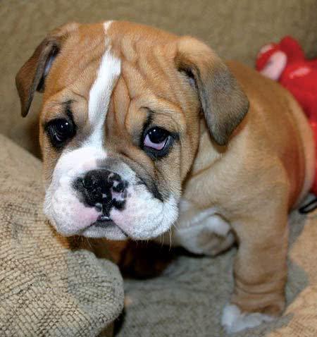 Cachorro bulldog filhote