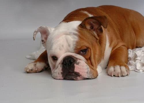 Bulldog deitado