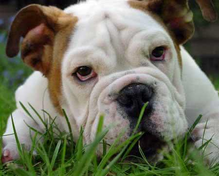 Cão da raça bulldog