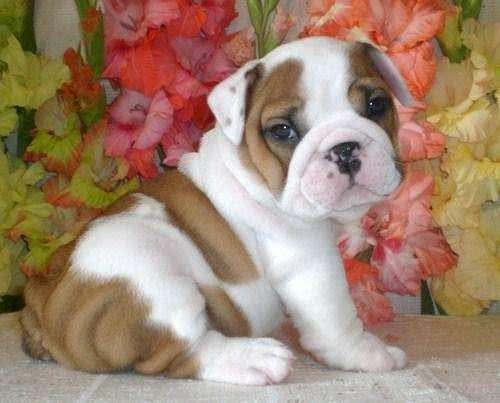 Filhote de bulldog