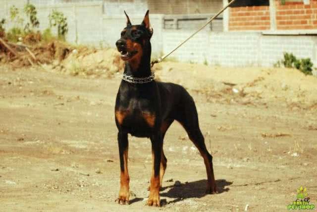 Cachorro Dobermann