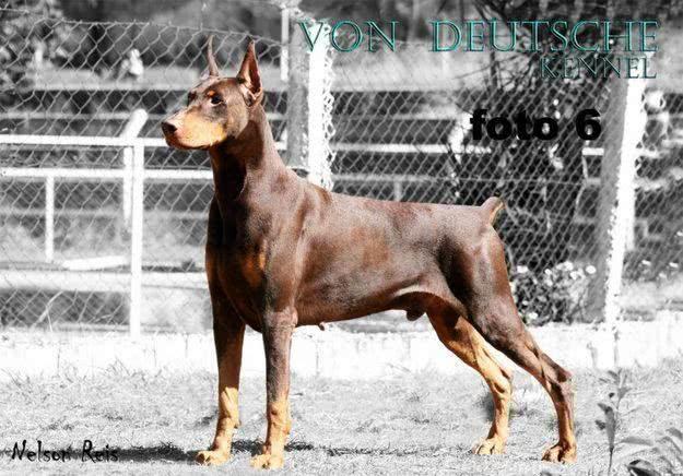 Cachorro da raça dobermann