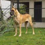 Cachorro Dogue Alemão