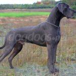 Cachorro da raça Dogue Alemão