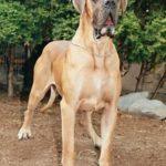 Cão da raça Dogue Alemão