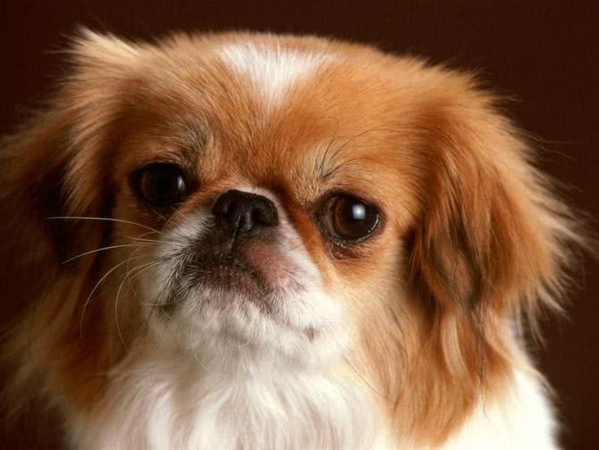 Cachorro pequinês castanho avermelhado com branco