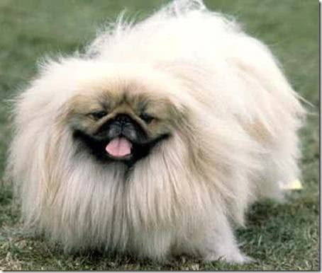 Cachorro pequinês branco