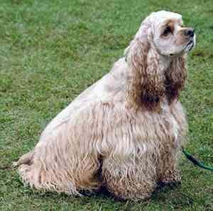 Cachorro da raça Cocker