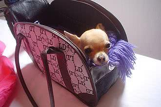 Foto de Chihuahua