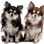 Cachorros Chihuahua – fotos