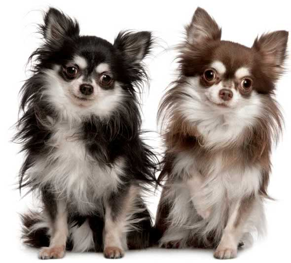 Chihuahuas de pelo longo