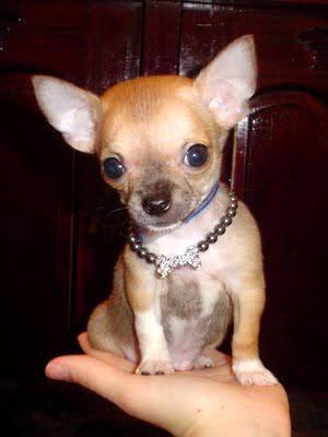 Chihuahua comparado ao tamanho da mão