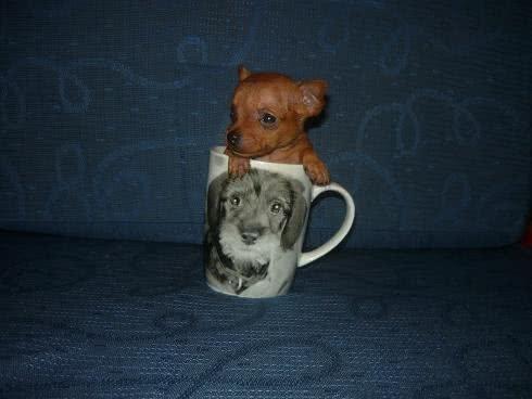 Chihuahua comparado ao tamanho de uma xícara