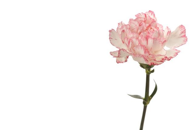 Cravo branco com rosa