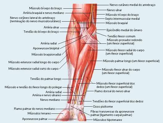 Anatomia do antebraço