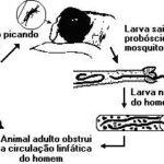 Filariose: o que é, sintomas, causas e tratamentos