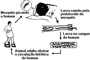 Transmissão da filariose pelo mosquito ao homem