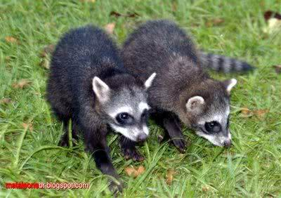 Filhotes de guaxinins