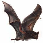 Sonhar com morcego – Significados para este sonho