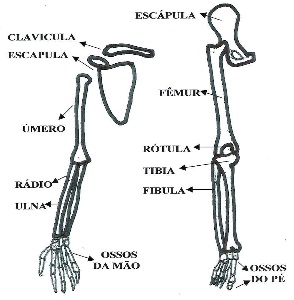 Informações dos ossos do braço e da perna