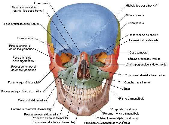 Informações dos ossos do crânio