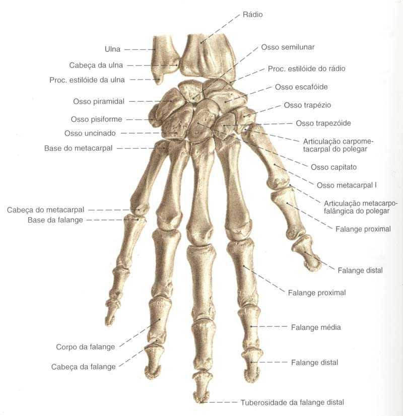 Informações dos ossos da mão
