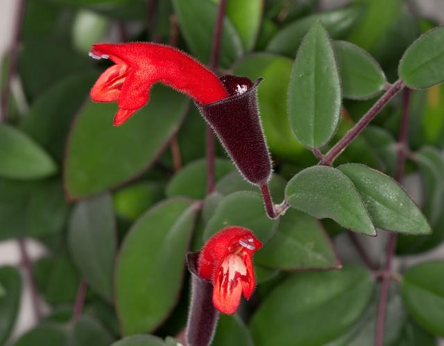 Flor batom-vermelho