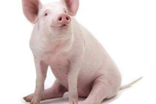 O que pode significar sonhar com porco?