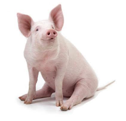 Sonhou com porco? Descubra o que isso significa