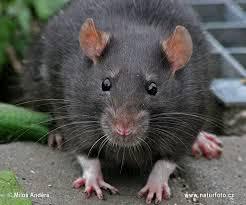 Significado de sonhar com rato preto