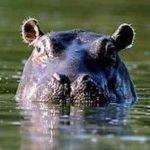 Sonhar com hipopótamo