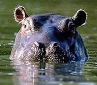 sonhar com hipopotamo
