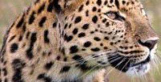Sonhar com leopardo