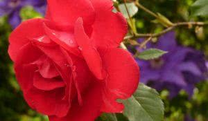 sonhar-com-rosa-vermelha