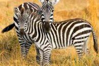 Sonhar com zebra – Qual o significado?