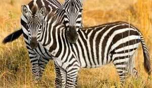 sonhar-com-zebra