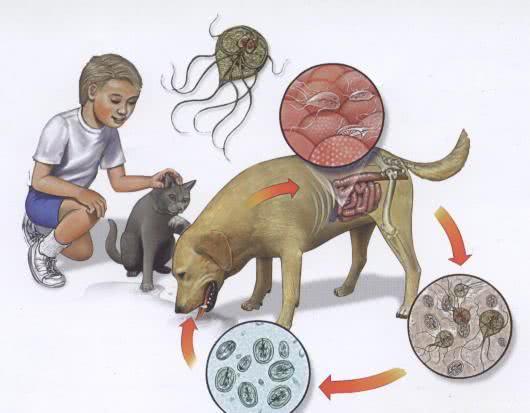 sintoma giardia verme)