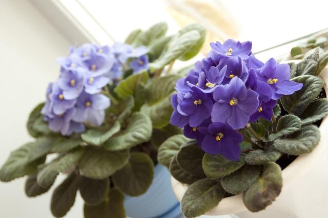 Dois vasos com violetas